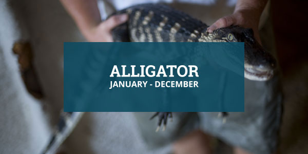 Louisiana Seafood Alligator Season